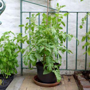 Roma plant