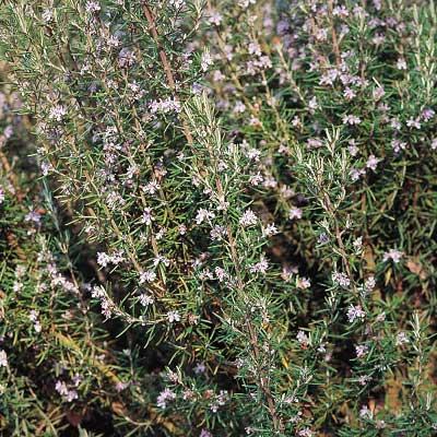 Rosemary 3 Plants