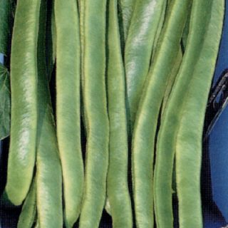 Runner Bean Enorma Elite