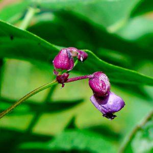Dwarf French bean flower
