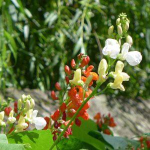 Runner Beans Flowers 3