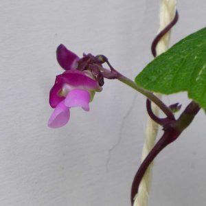Runner Beans Flowers 4