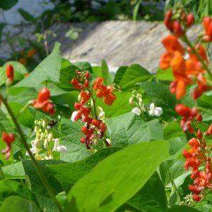 Runner Beans Flowers 7