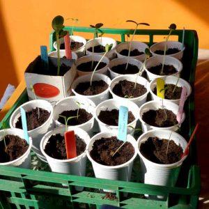 Seedlings in trays