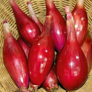 Shallot (Organic) Seeds - Long Red Florence