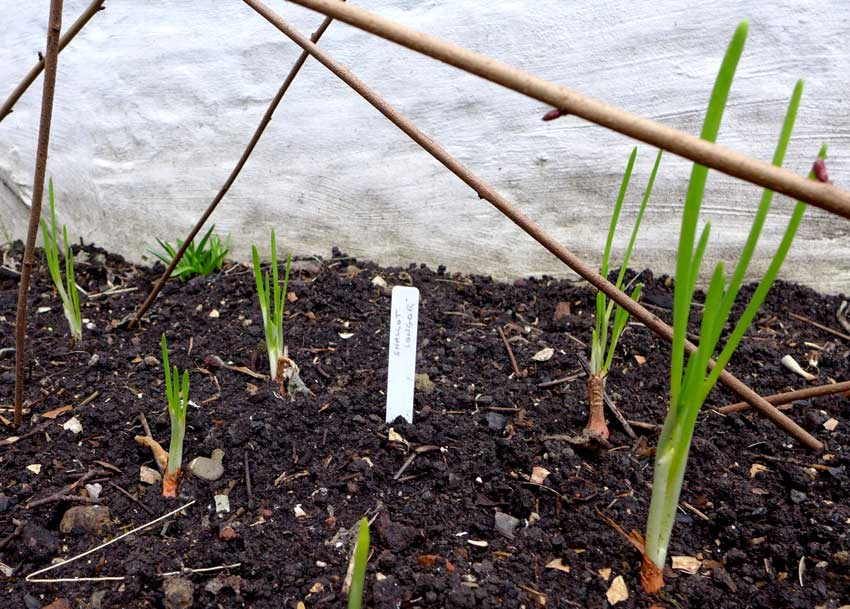 Shallots in raised bed