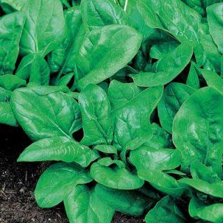 Spinach - Matador