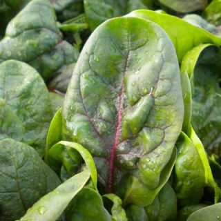 Spinach - Rubino F1