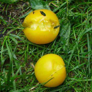 Split fruit
