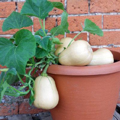 Squash Butterbush