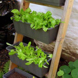 Starting lettuce