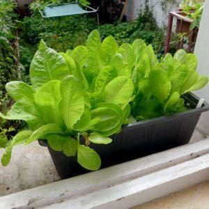 Sucrine lettuce