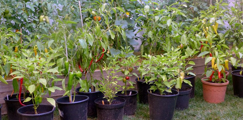 Summer Colours Chilli Peppers