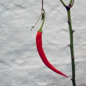 Sweet Cayenne fruit