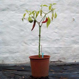 Sweet Nardello plant