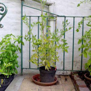Tigerella plant