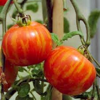 Tomato Amurskiy Tigr