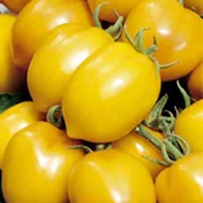 Tomato Chudo Svitu