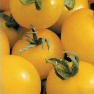Tomato Golden Sunrise
