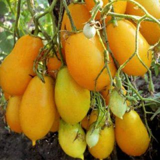 Tomato Obereg