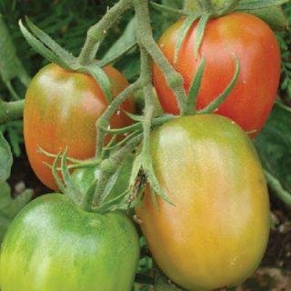 Tomato Olirose