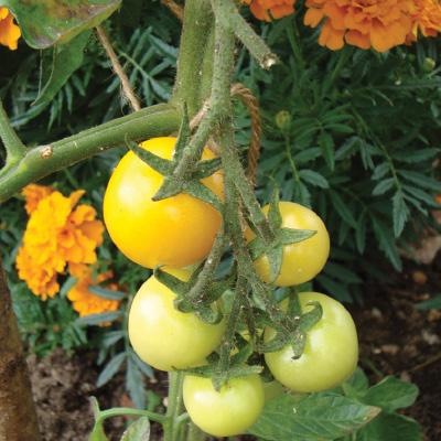 Tomato Orange Bourgoin