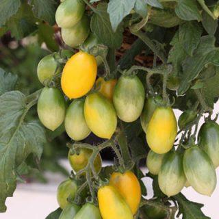 Tomato Peardrop
