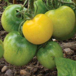 Tomato Yelllow Perfection