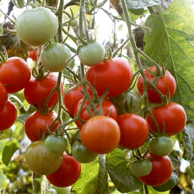 Tomato Zucketraube