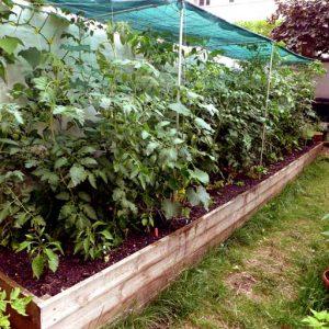 Tomato main crop