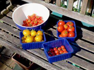 Weekly tomato harvest