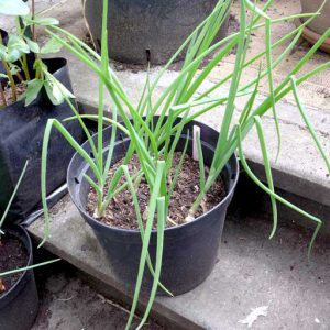 White onions in pot