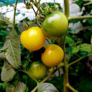 Yellow Perfection tomato