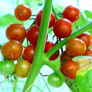 Zuckertraube tomato