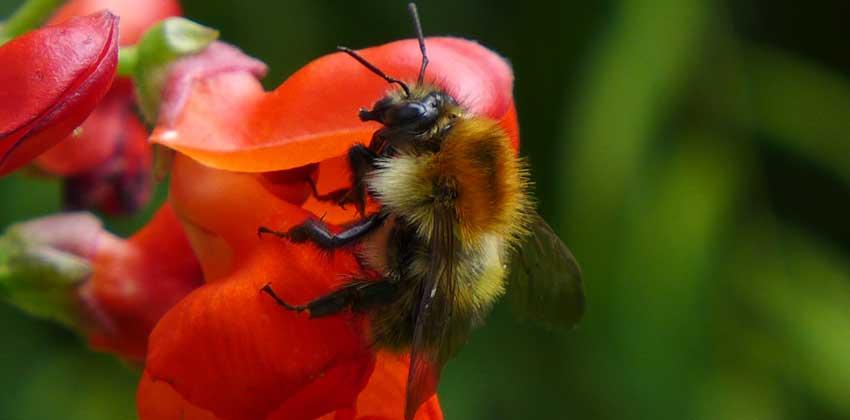 Garden Bees Gallery