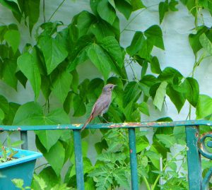 Redstart visit