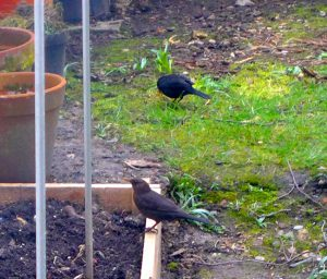 Male and female Blackbirds
