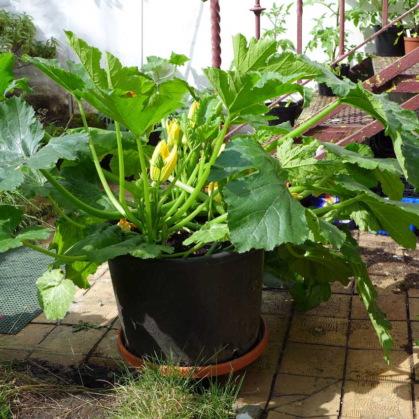 blog-2015-courgettes-01