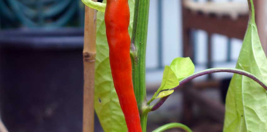 Growing peppers