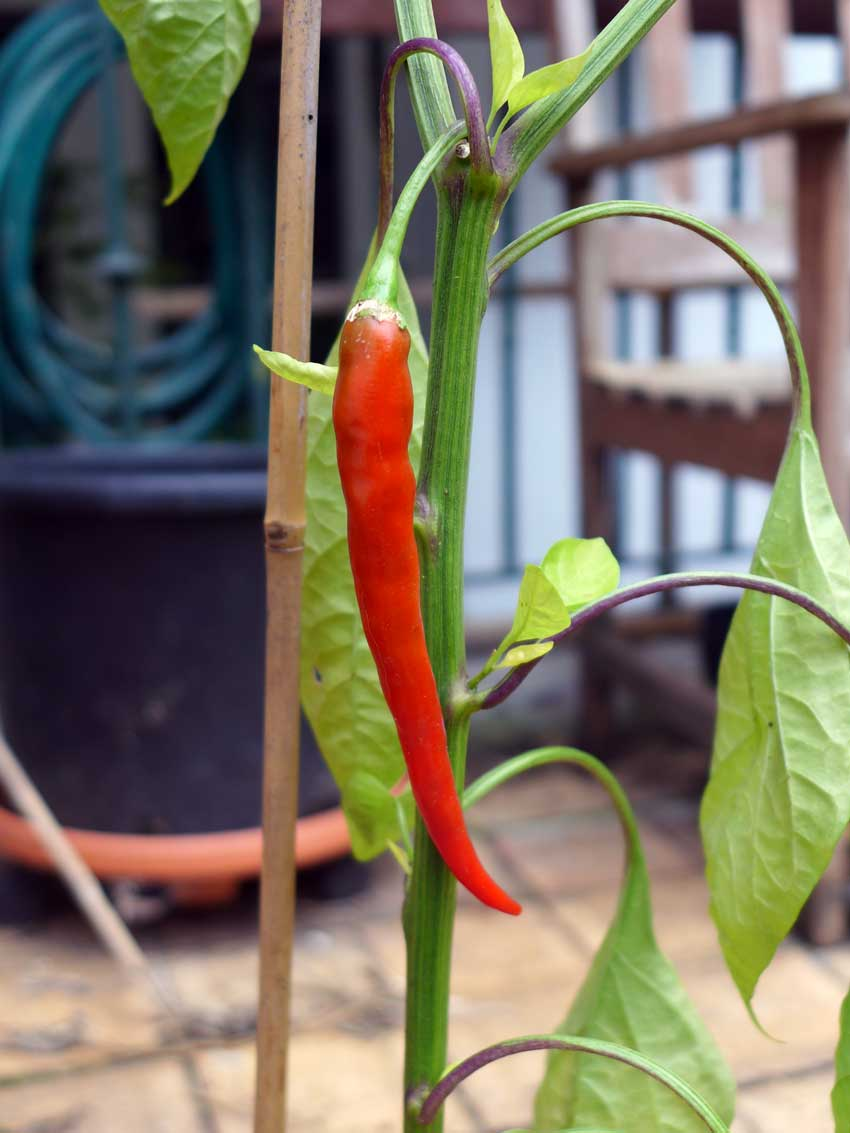 blog-2015-growing-peppers-01