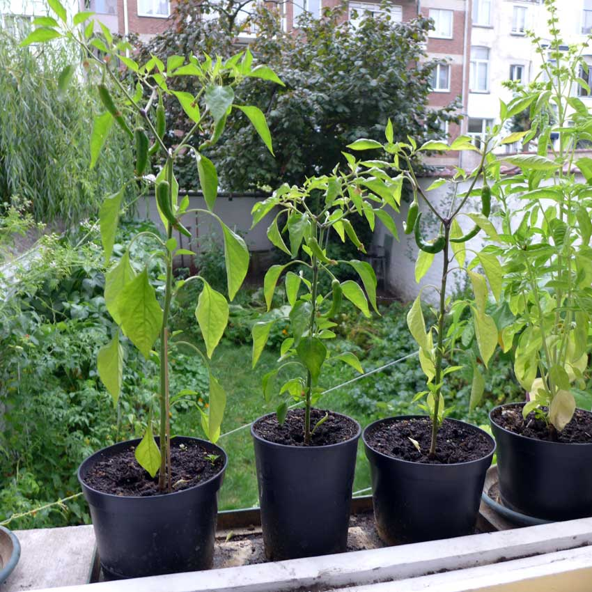 blog-2015-growing-peppers-02