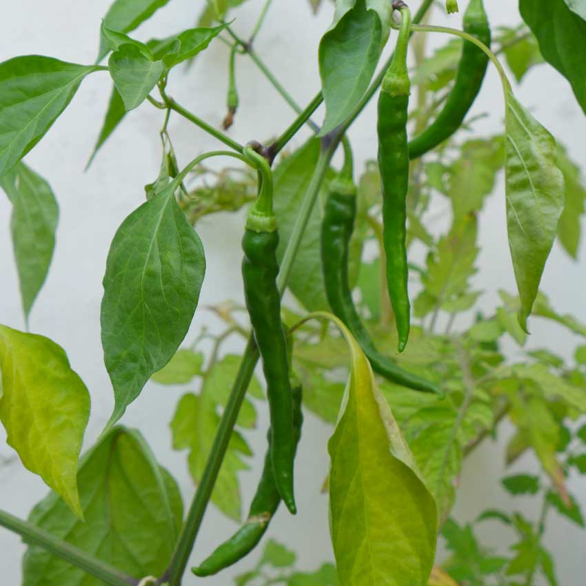 blog-2015-growing-peppers-03