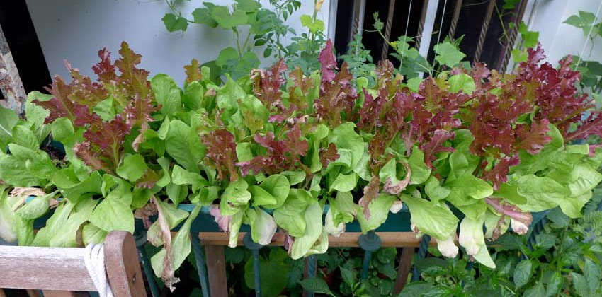 Growing salad in containers