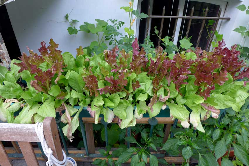 blog-2015-growing-salad-in-containers-01