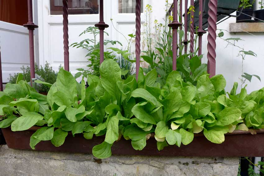 blog-2015-growing-salad-in-containers-02