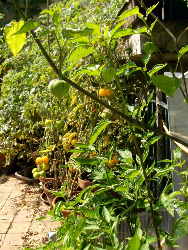 blog-2015-growing-tomatoes-in-containers-02
