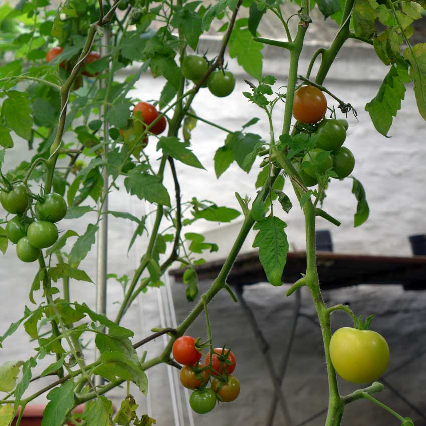 blog-2015-last-tomatoes-of-the-year-01