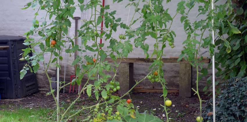 Simple growing frame for tomatoes