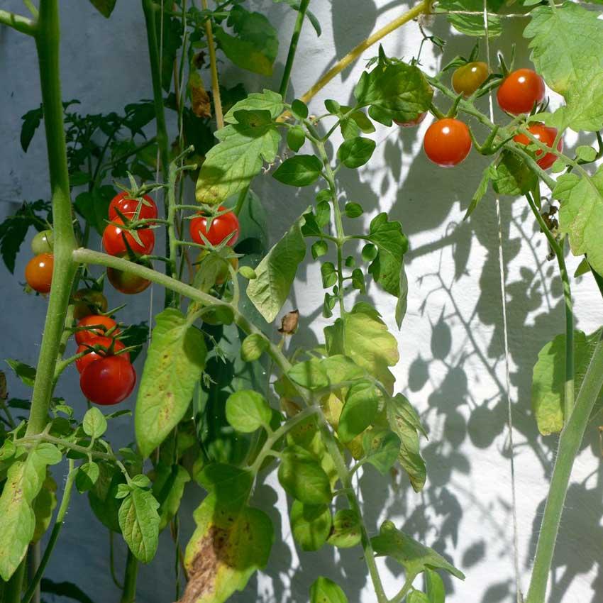 blog-2015-tomato-blight-02