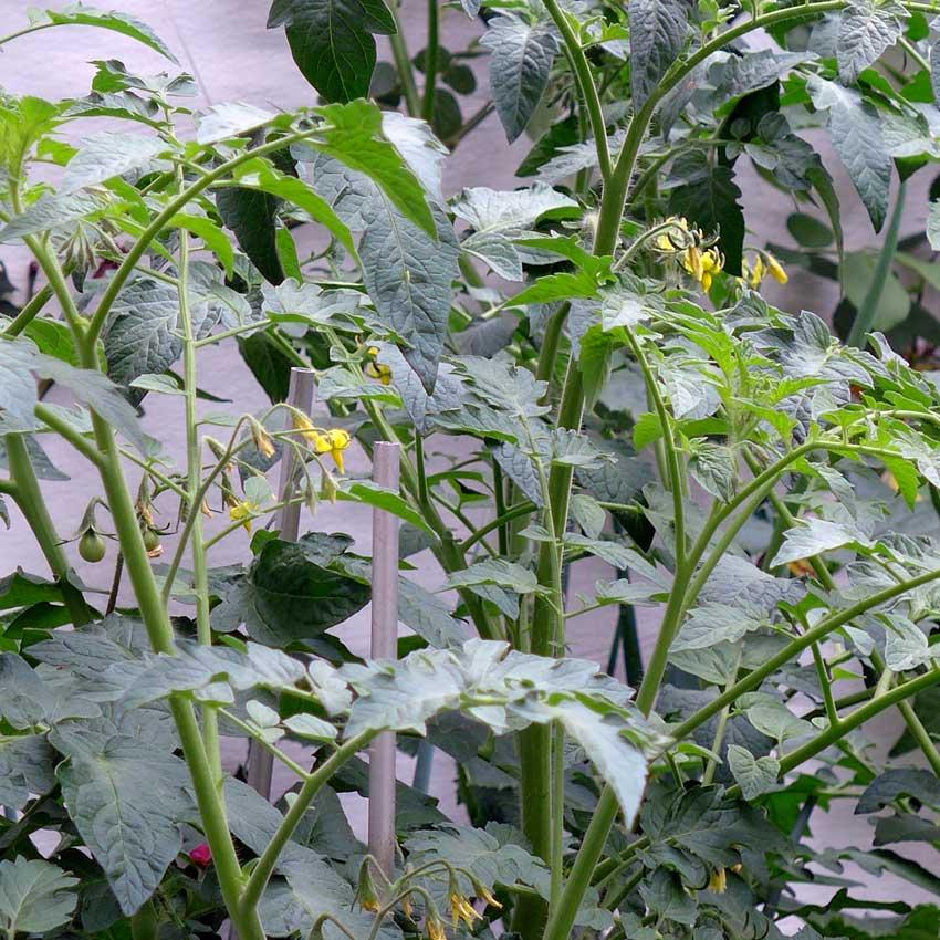 blog-2015-tomato-flowers-02